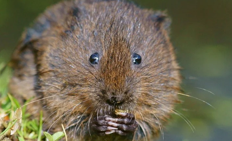 Comment se débarrasser du rat taupier ou campagnol terrestre ?